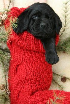 Adorable gift ~ Black Lab Christmas pup