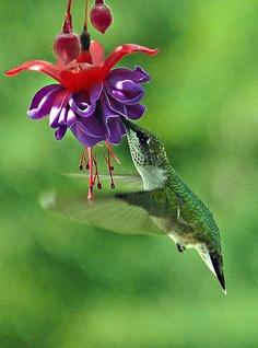 Humming bird these beautiful creature live in my backyard